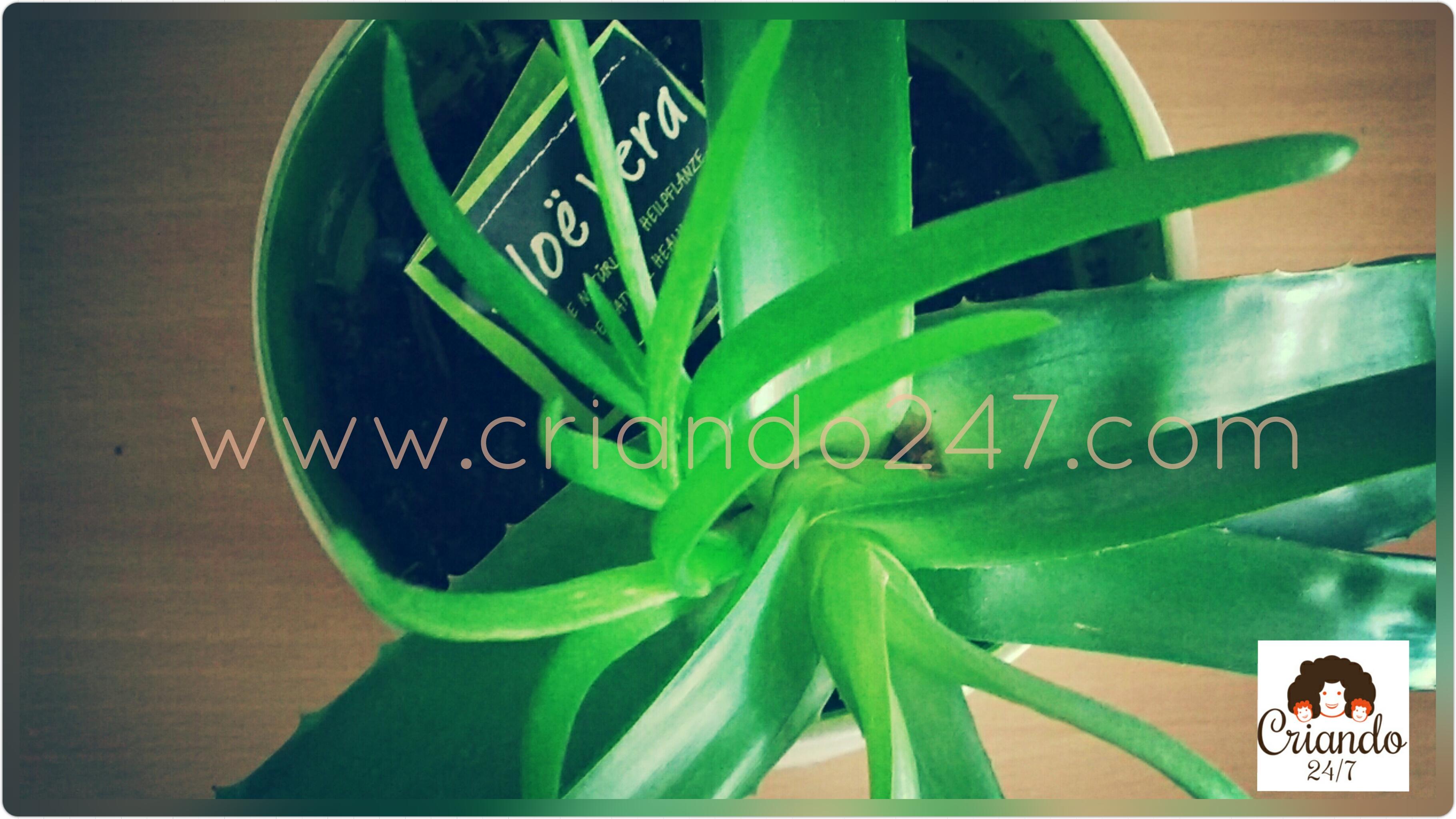 Criando247 Aloe Vera2