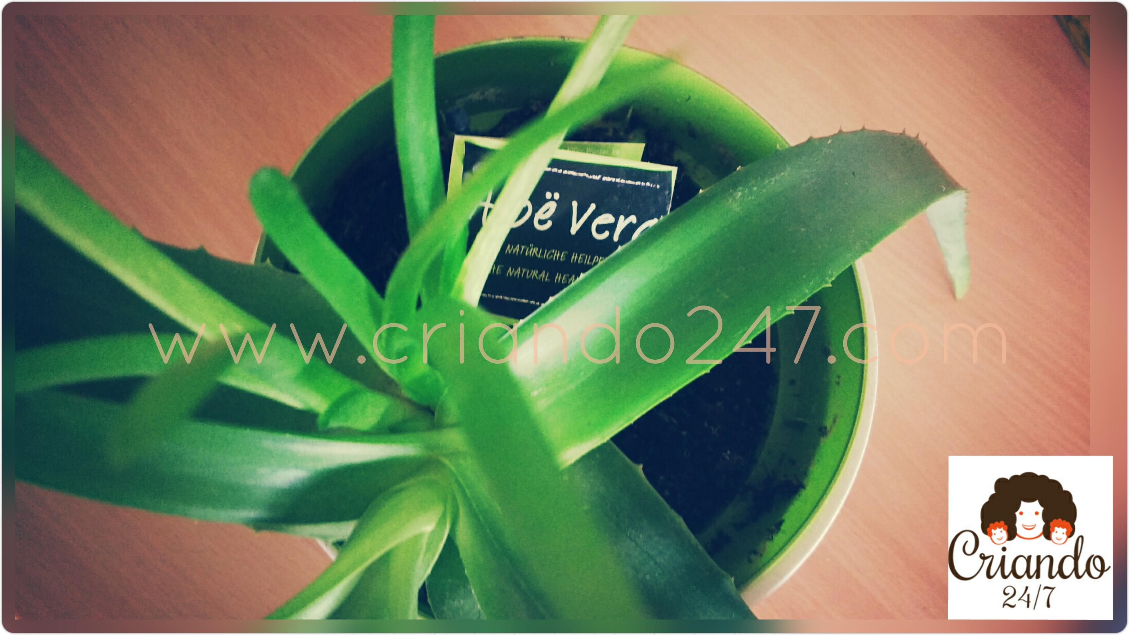 Criando247 Aloe Vera3