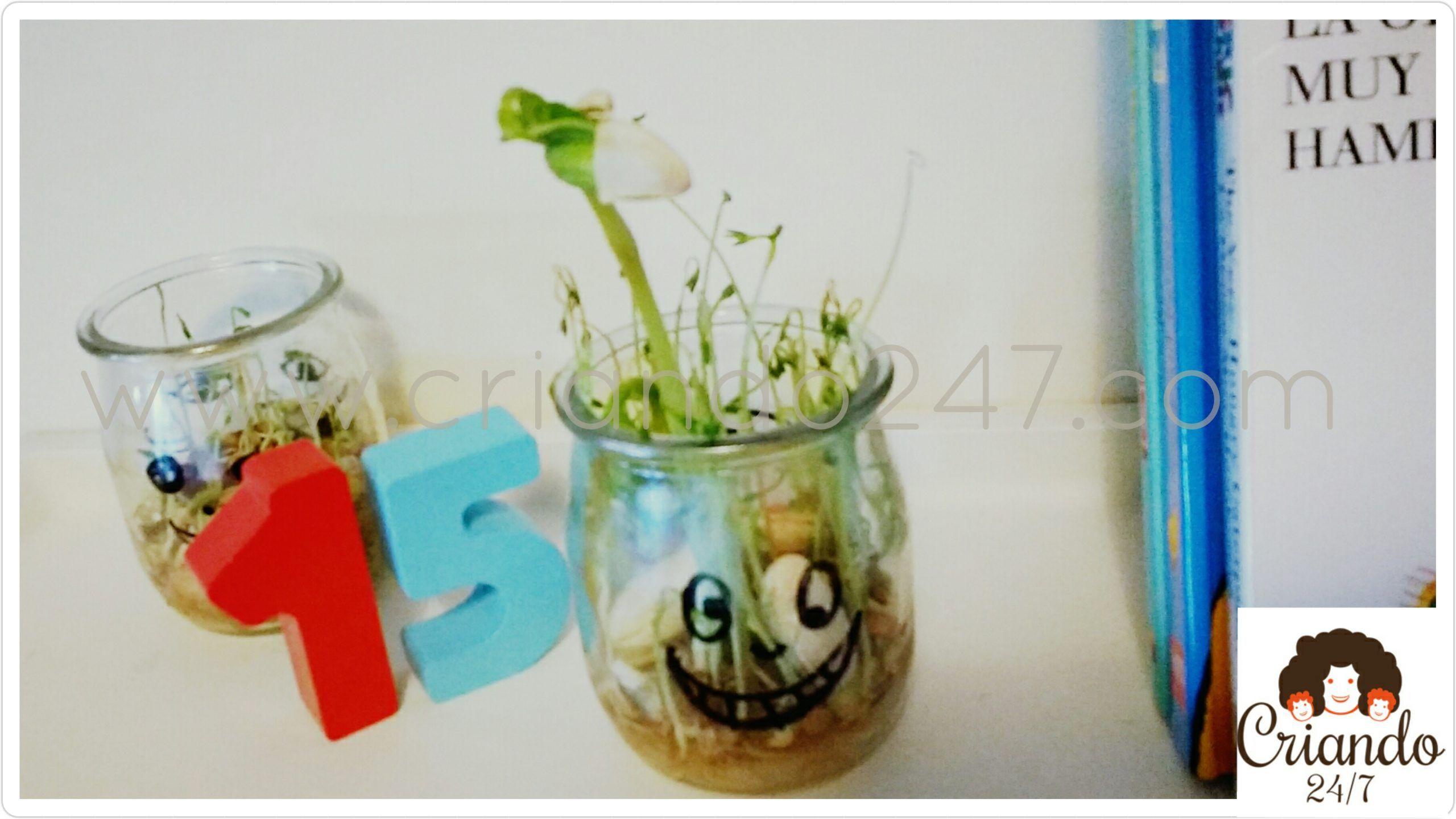 dos vasitos de cristal de yogur con unas caras ìntadas con rotulador negro y una germinacion de alubias y lentejas creciendo. logo de Criando24/7